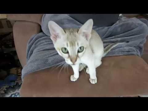 Adorable Singapura Kitten