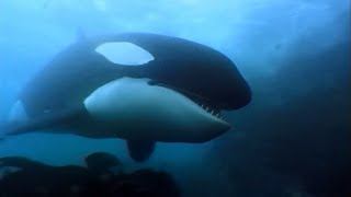 Elephant seals and Orcas - Wildlife Documentary thumbnail