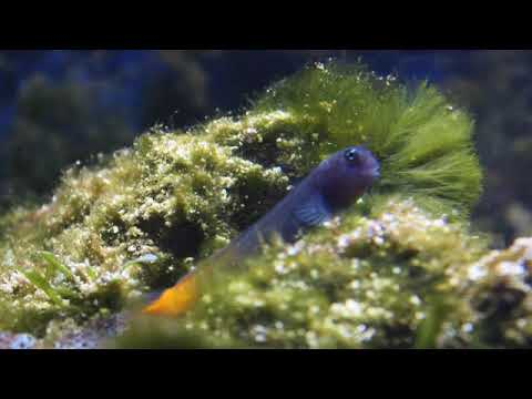 Ecsenius bicolor: blenio bicolor