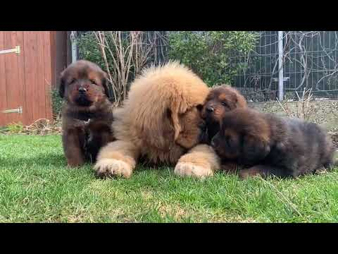 Cute tibetan mastiff puppies