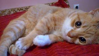 Munchkin Cat Cuteness Overload