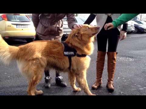 German shepherd mix with husky - best dog ever