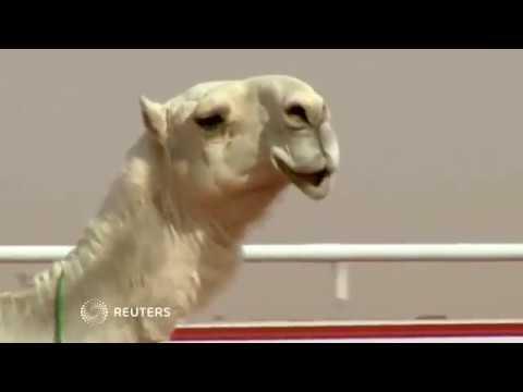 A Botox scandal at Saudi Arabia's camel beauty contest