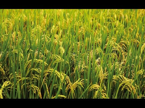 "► ""Seed to Rice"" 