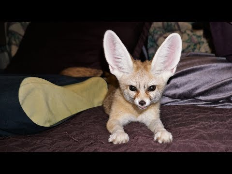 Pet Fennec Fox Compilation W/ Ikigai