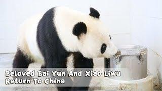 Beloved Bai Yun And Xiao Liwu Return To China | iPanda