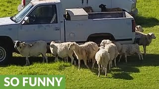 Sheep use truck as personal scratching post