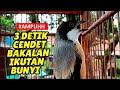 Pancingan Ampuh Untuk Cendet Bakalan Ombyokan Muda Hutan Agar Ikut Bunyi Dan Gacor  Mp3 - Mp4 Download