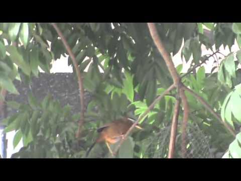 Bẫy chim Họa Mi tại Hải Phòng 0984.363.819