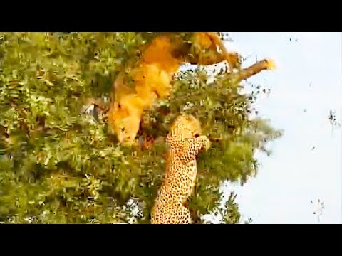 Cat Fight: Lion And Leopard Fall From Tree Fighting Over A Kill