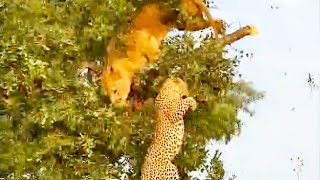 Lion & Leopard Fall Out Tree While Fighting For Food