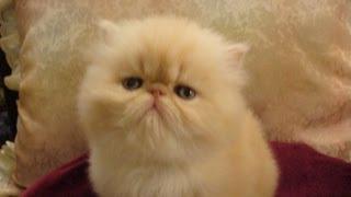 Маленький котенок, сильный голос