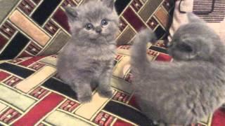 Британские котята мальчик и девочка(справа)