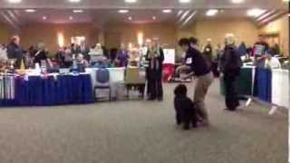 Jr Puppy female Barbet Fanciers Association speciality 2013