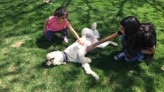 E-collar Obedience Training For A Labrador, Golden, Poodle (doodle) Puppy