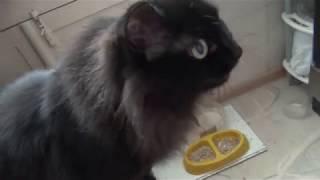 Реакция кошек на большую курицу