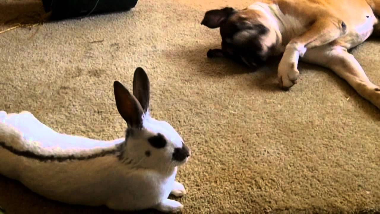 A Boxer Dog And His Bunnies Youtube
