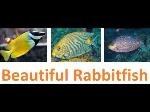 Six Beautiful Rabbitfish For Saltwater Aquarium