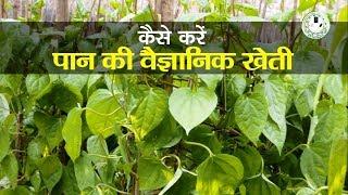 पान की खेती कैसे करें || Betel-Vine Cultivation