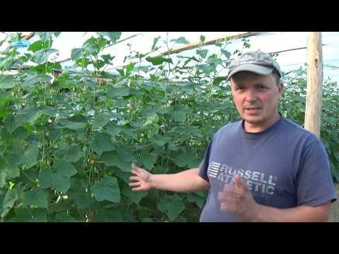 Как обрезать огурцы в теплице чтобы был хороший урожай видео