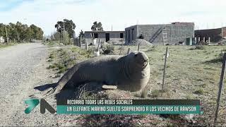 Elefante marino sorprendió a los vecinos de Rawson