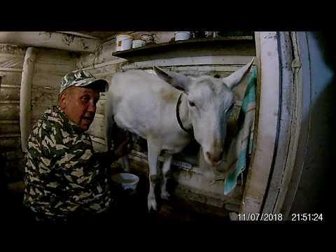 Вопрос: Почему даже безрогие козы иногда бодаются?