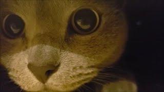 目をまんまるにして箱の中で遊ぶ灰色猫すずまろ