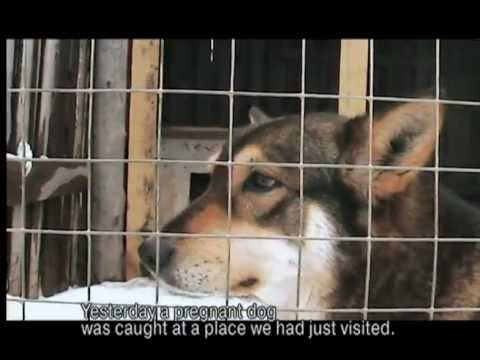 DOGS. A documentary about a dog shelter in Russia