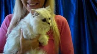 Персидская шиншилла на выставке кошек PCA - cat show