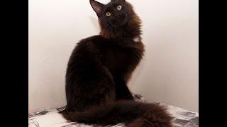 Котенок мейн-кун Kompot в Воронеже, Maine Coon kittens for sale