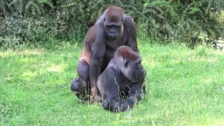 Gorillas haben Spaß / Gorillas have Fun