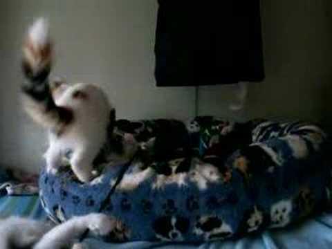 Turkish Angora Kitten 2 | FunnyCat.TV