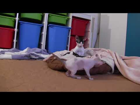 Kitty Cornish Rex is playing and having fun!