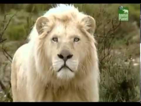 Белый лев -Царь Царей.