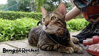 【散歩】飼い主の息抜の為外に連れて行かれて鳴きまくるベンガル猫のリンク【ベンガルロケット♯109】