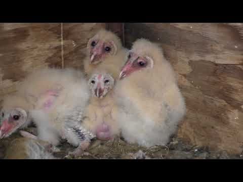 Barn Owls Take Over Deer Blind