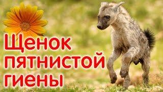 Пятнистая гиена, щенок, приучение есть корм из рук