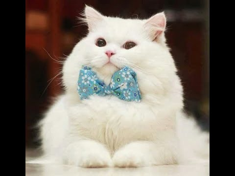 Fluffy Cat Breeds   It's so Fluffy!