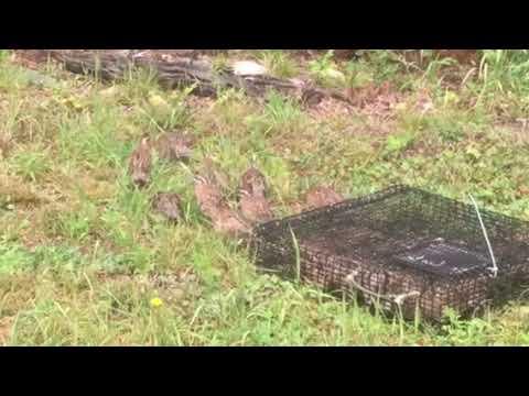 Planet Subaru Hanover and Chapman Farm School bobwhite quail release