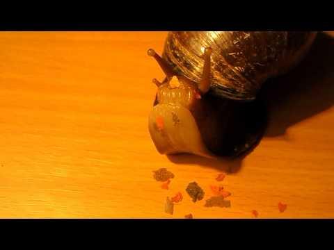 Ślimak Afrykański - karmienie (African snail - feeding ) Achatina Fulica