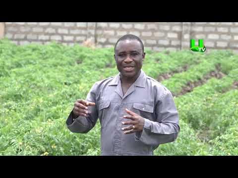 AYEKOO: Tomatoes Farming In Ghana