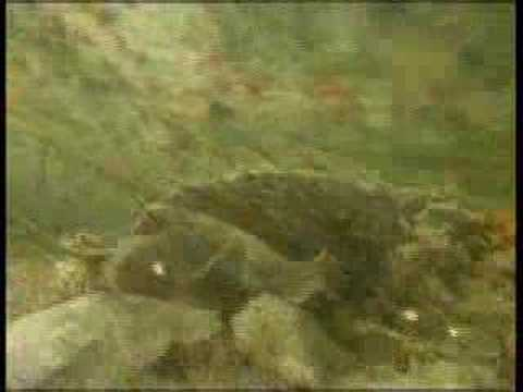 Cinemaquatics - Saving The Sawfish