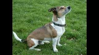 Hundeerziehung ganz Easy Jack Russell Terrier Mani Mampffred in der Hundeschule zeigt Tricks