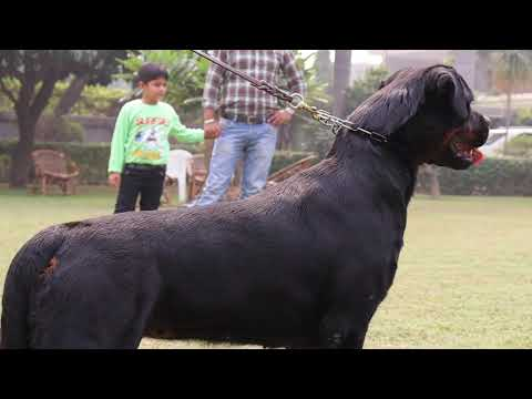 Grewal Kennel || Legend Of Breeding Rottweiler || Avninder Singh Grewal || Full Farm Tour | Scoobers
