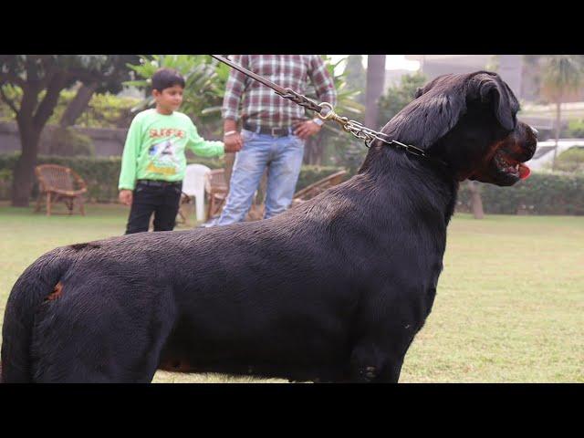 Grewal Kennel Legend Of Breeding Rottweiler Avninder Singh Grewal Full Farm Tour Scoobers Youtube