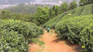 Фото Путешествие за белым чаем. Фудин провинция Фуцзянь