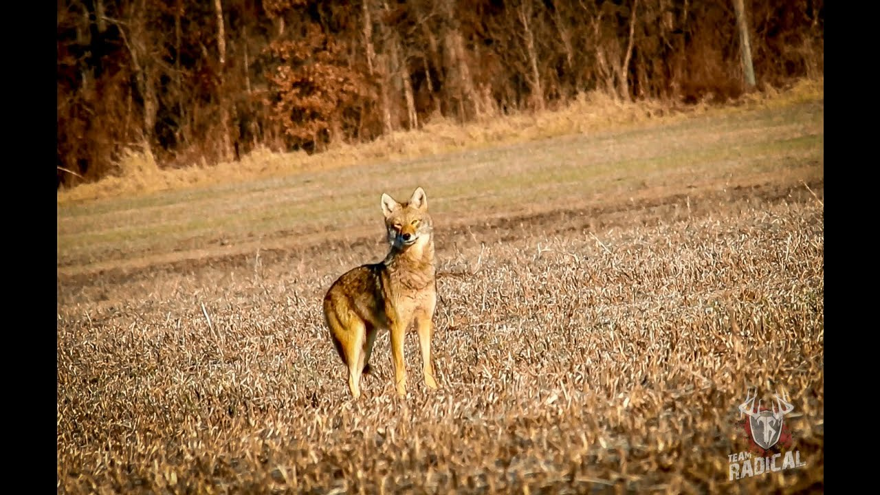 Best Coyote Hunting Dog