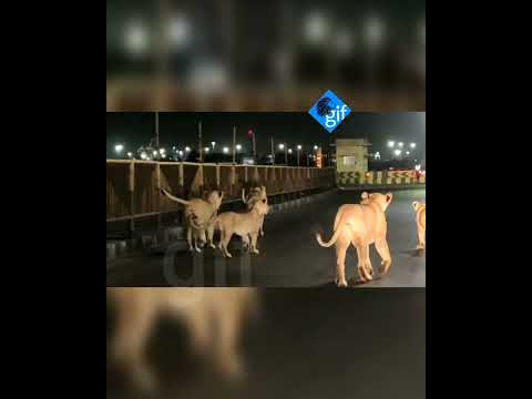 Watch Unbelievable: 5 Asiatic Lions walk on Pipavav port road in Gujarat, leave locals stunned