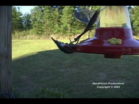 FYI: Can Praying Mantises Eat Hummingbirds?