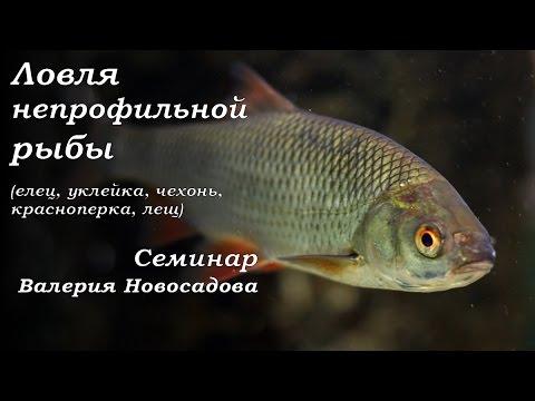 ловля красноперка рыба